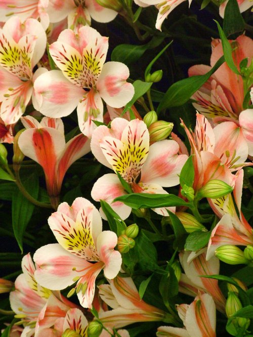 A Rainbow of Alstroemeria at Mellano & Company | Mellano & Company