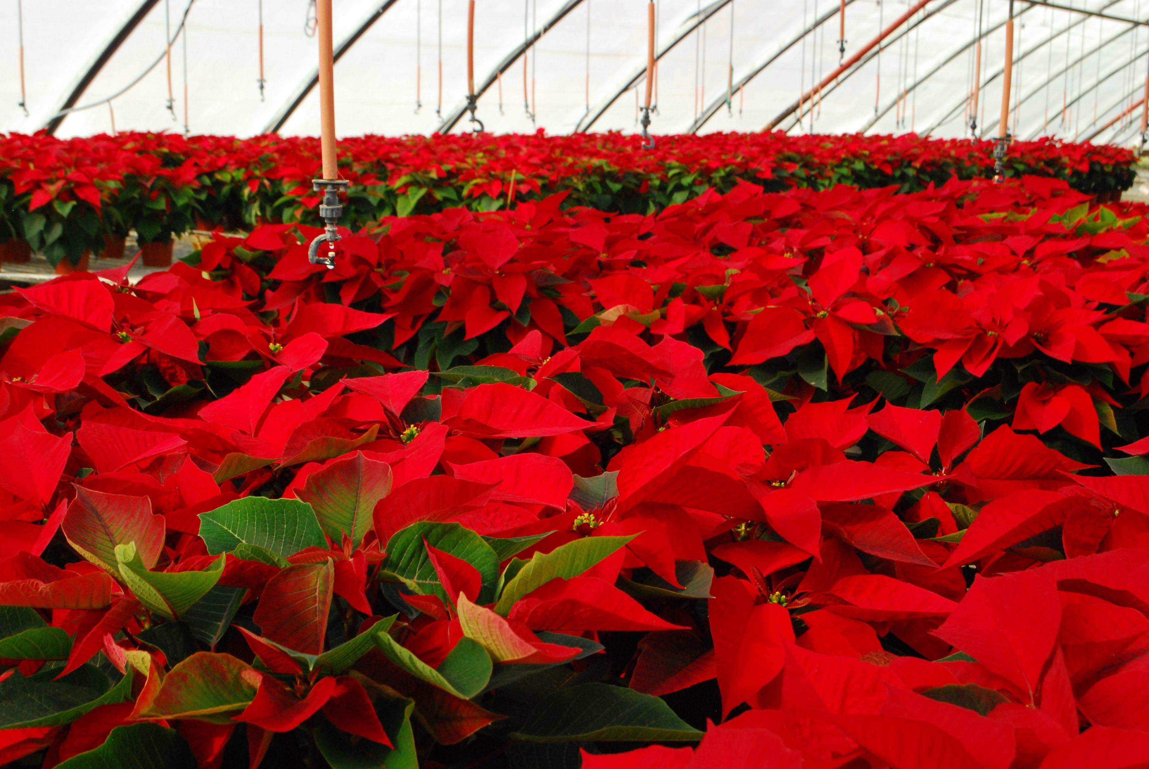 Poinsettia Passion Mellano Company