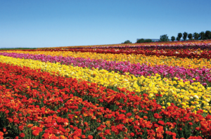 Flower_Fields